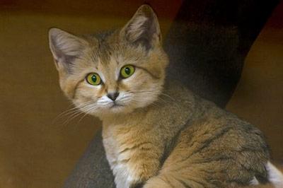 Барханная кошка, песчаный кот фото