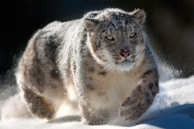 Ирбис, снежный барс фото