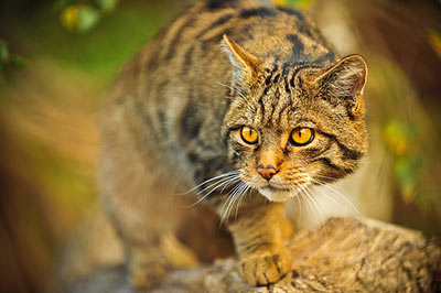 Лесная кошка фото