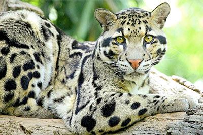 Дымчатый леопард фото