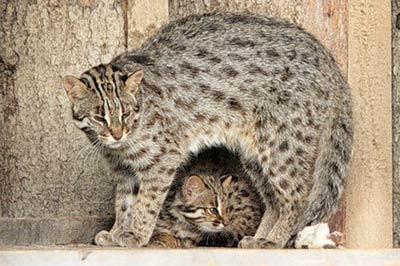 Дальневосточный лесной кот фото