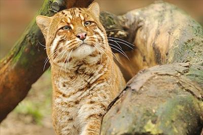 Золотистая кошка фото