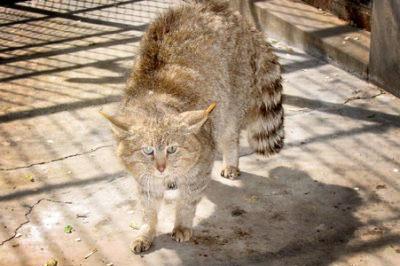 Китайская горная кошка, или гобийская кошка фото