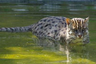 Кошка-рыболов фото