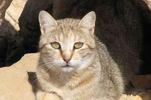 Ливийская буланая кошка фото