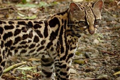Онцилла, малая пятнистая кошка, тигровая кошка фото