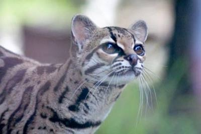 Американская кошка, или марги фото