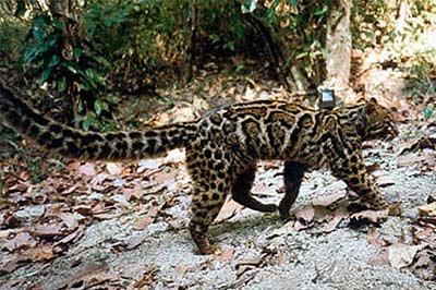 Мраморная кошка фото