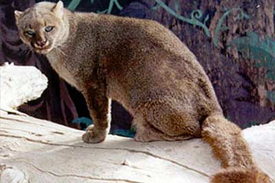 Онза, ацтекская кошка фото