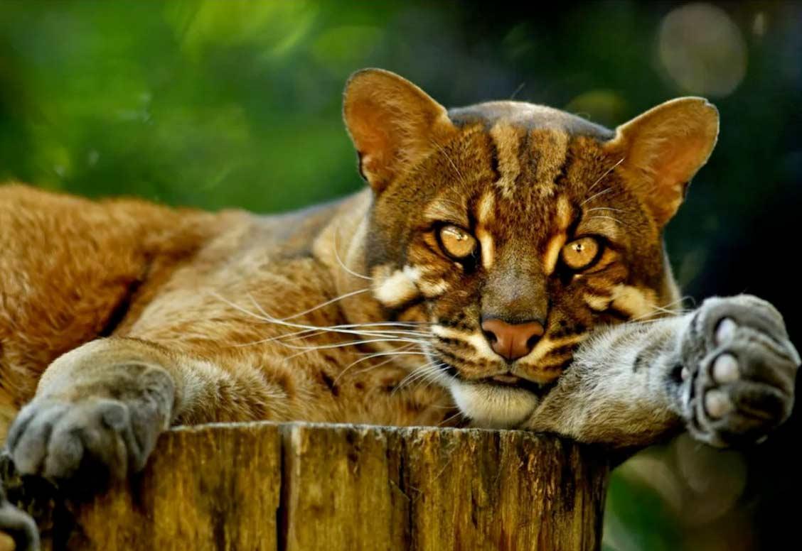 Кошка Темминка фото
