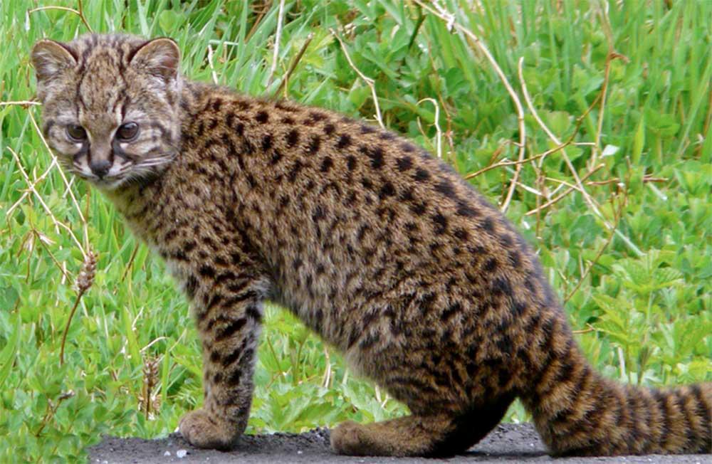 Кодкод, чилийская кошка фото