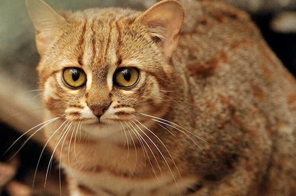 Пятнисторыжая кошка, бурая кошка фото