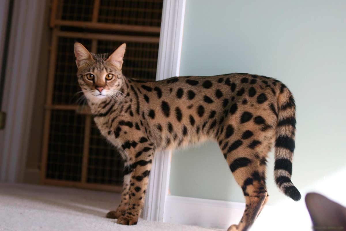 мать, которая порода кошки ашера фото декрета