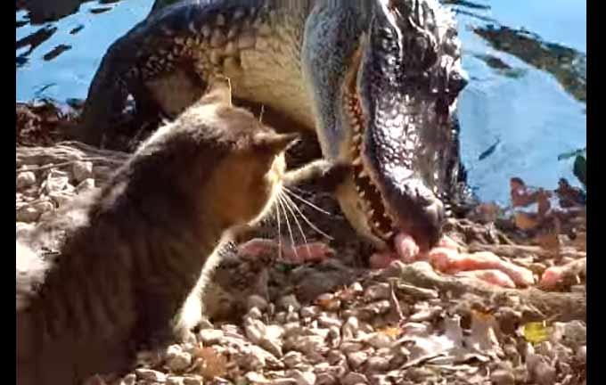 Кот против крокодила (ВИДЕО) фото