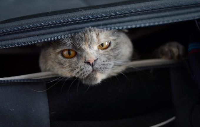 Кошки, которые любят путешествовать больше, чем вы фото