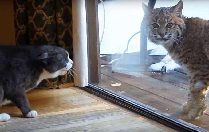 Рысь не понимает, почему домашняя кошка так агрессивна (видео) фото