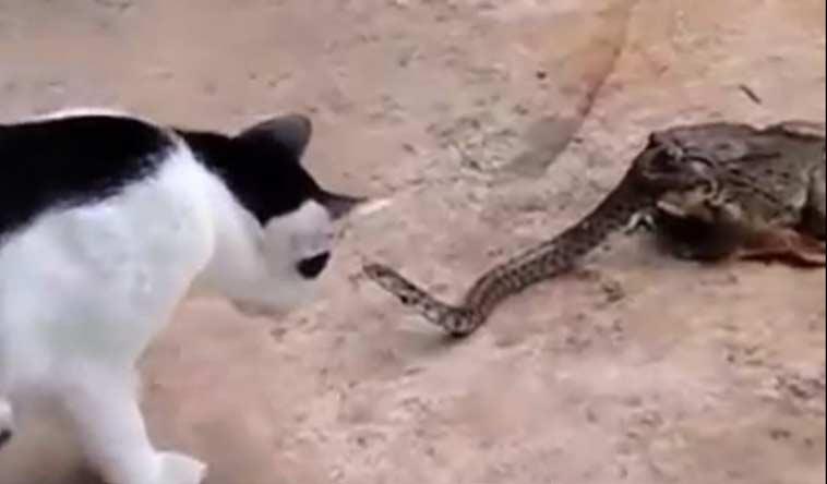 Недоеденная жабой змея атакует кошку фото