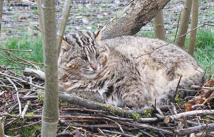 Сибирские ученые создадут гибрид домашней кошки и краснокнижного дальневосточного кота фото