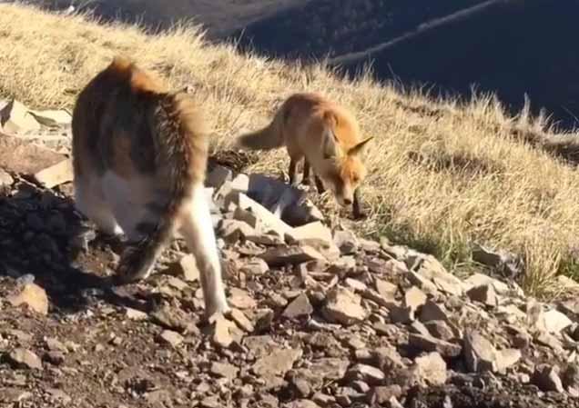 В Пятигорске кошка отвоевала территорию у голодной лисы фото