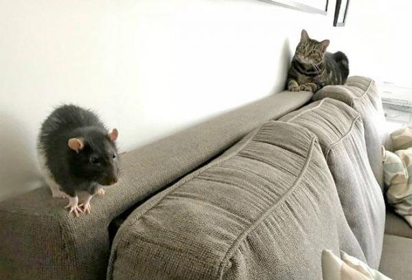 Кошка Галакси и крыса Берни живут в одном доме фото