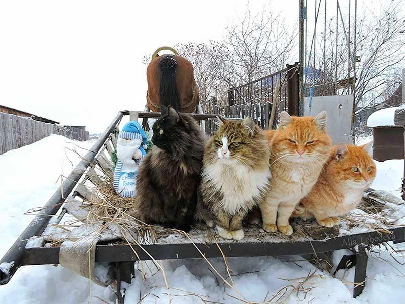 Миллион сибирских кошек фото