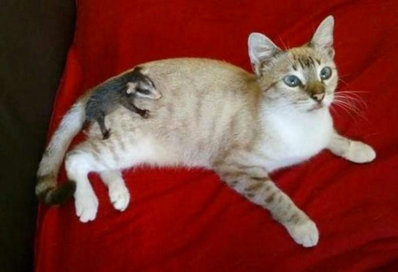 Кошка принесла с прогулки детеныша опоссума и стала ему настоящей мамой фото