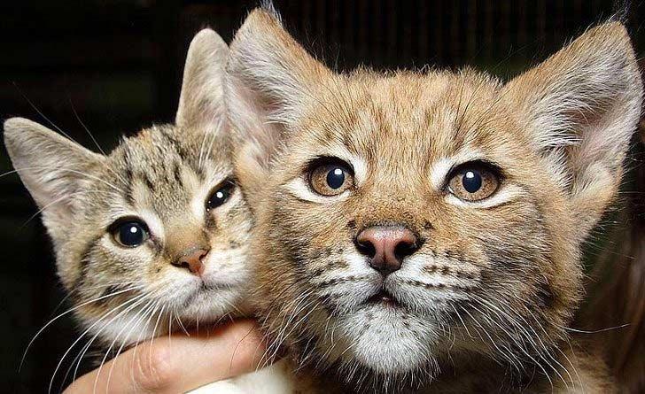 Необычная дружба кошки Дуси и рыси Линды фото