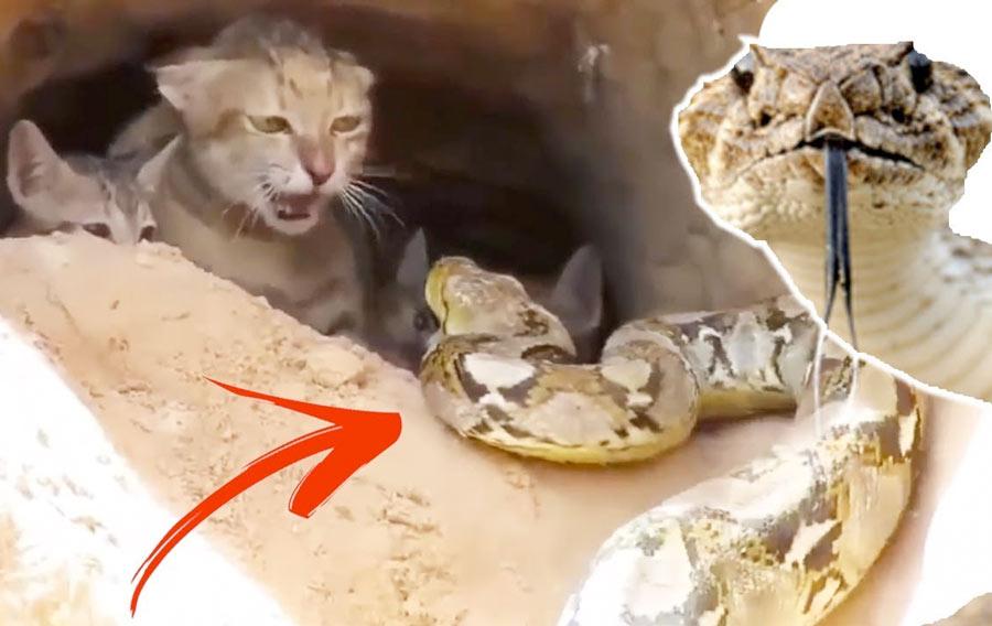Кошка боролась с гигантской змеей, чтобы спасти своих котят фото