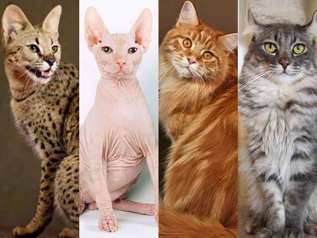 Самые необычные породы кошек фото