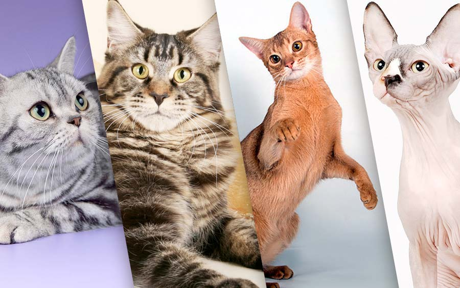 Лучшие породы кошек для семьи фото