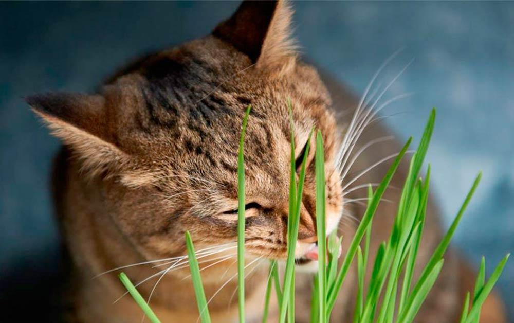 Ученые выяснили, почему кошки любят жевать траву фото