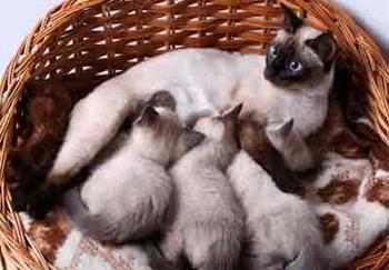 Беременность у сиамских кошек