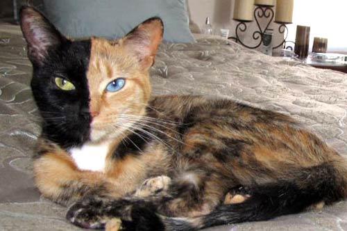 Необычная двуликая кошка-химера фото