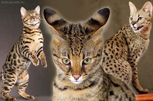 Топ-5 самых дорогих домашних кошек мира фото