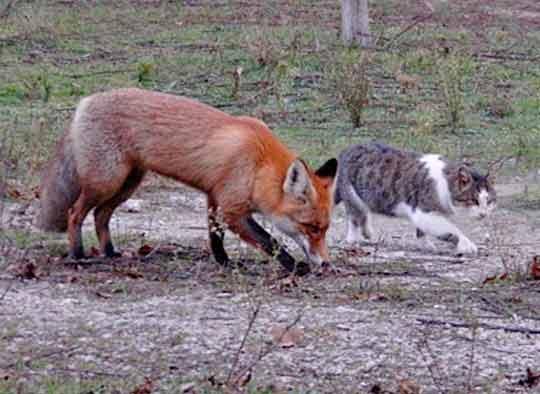 Бездомный кот Василий подружился с лисенком фото