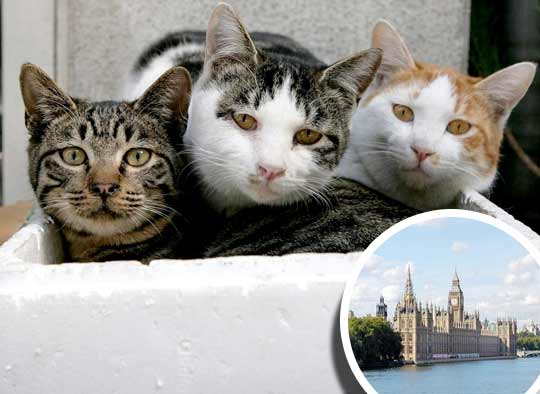 Власти Великобритании вызвали на помощь кошек фото
