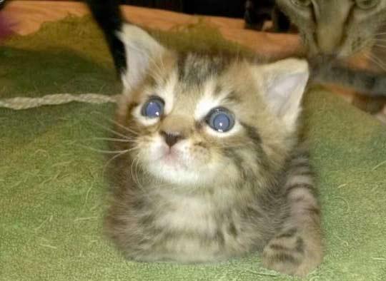 Двуногий котенок Меркьюри фото