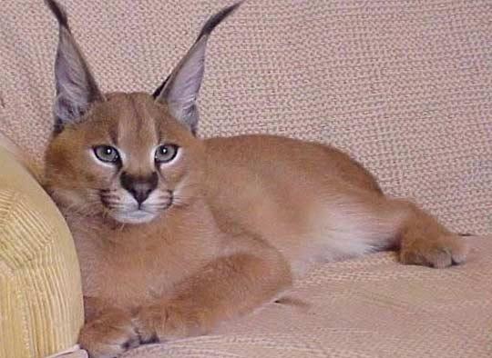 У москвички украли котенка редкой породы по цене полмиллиона рублей фото
