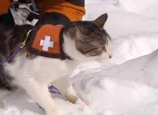 Видео: как кошки спасают людей от лавин фото