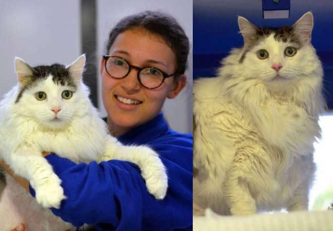 Кот весом 12 килограммов живет в приюте Лондона фото