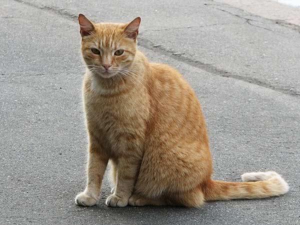 В Петербурге раздадут рыжих эрмитажных котов фото