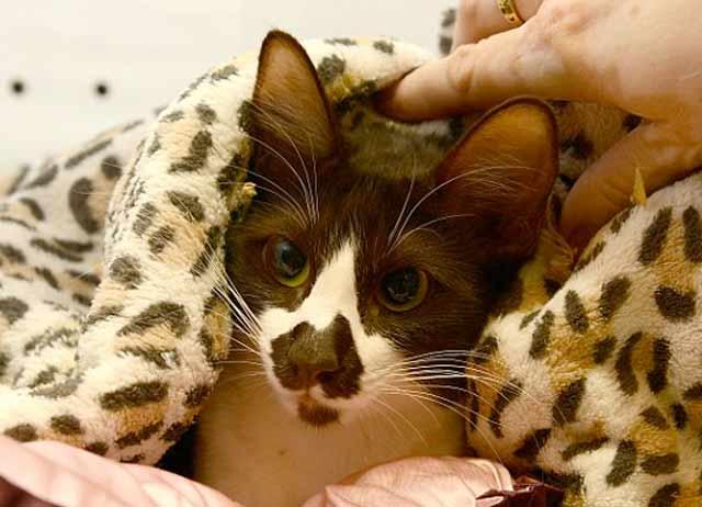 В Сиднее живет кошка с картой Австралии на носу фото