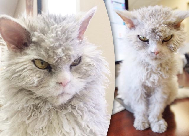 Суровый кот Альберт породы селкирк-рекс стал новой звездой Интернета фото