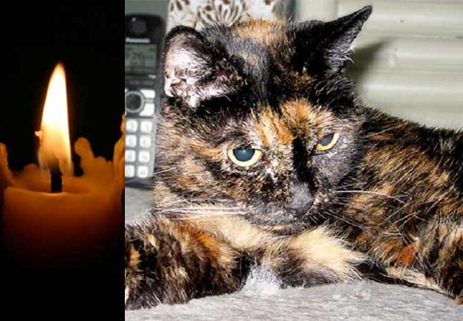 В США умерла самая старая кошка в мире Тиффани фото