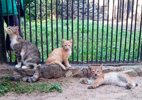 В Новосибирске домашняя кошка выкормила рысь фото