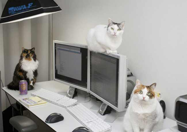 Японская фирма разрешила сотрудникам приносить на работу своих кошек фото