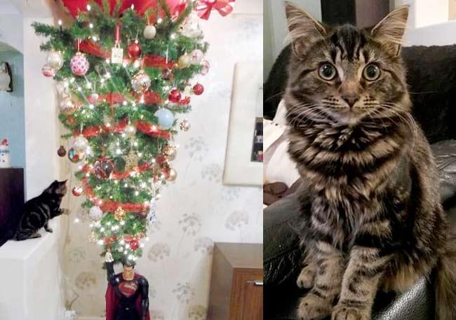Кошка стала звездой интернета, вынудив хозяев установить елку на потолке фото