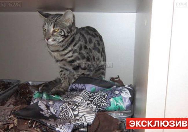 Элитной породы кот должен быть модным: Сбежавший от пассажирки бенгальский кот разгромил бутик в Шереметьево фото