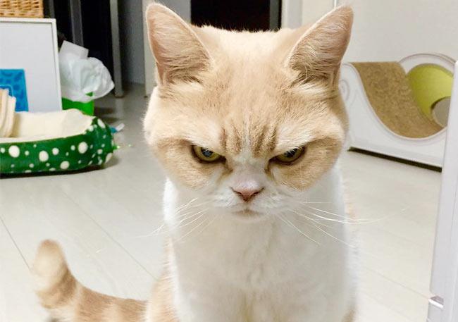 Новая звезда сети кошка Куоки — самая злая кошка в мире фото
