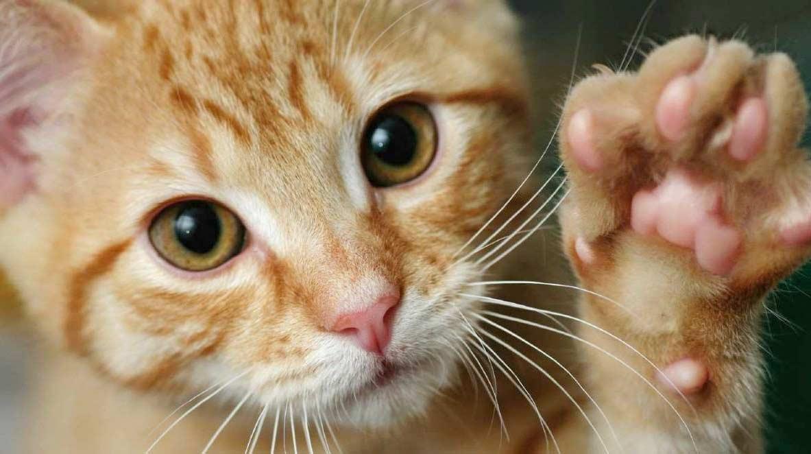 В Нью-Йорке хотят запретить процедуру удаления когтей у котов фото